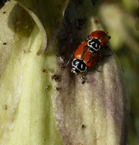 Ladybugs_crop
