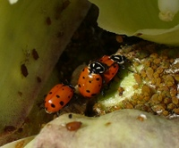 Ladybugs_crop_2